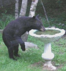Black_bear_photos_3__2